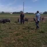 extra feed for lucky Berkshire hogs