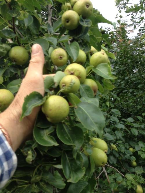 Paul's Pear