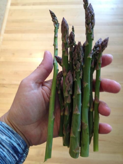 Alberta Asparagus  I have 25 asparagus plants in my backyard Edgar's Asparagus has 26 acres - I rely on them for the bulk of my eating Asparagus on Hand - self-portrait - Karen Anderson