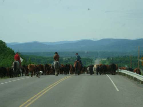 It's still common to see a cattle drive in Alberta - photo - Karen Anderson