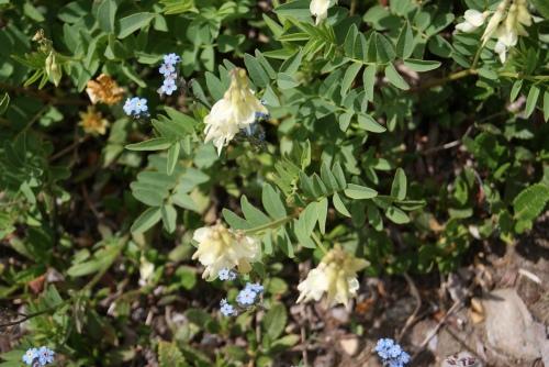 sulphur Hedysarum and alpine forget-me-nots - Mt Assiniboine photo - Karen Anderson