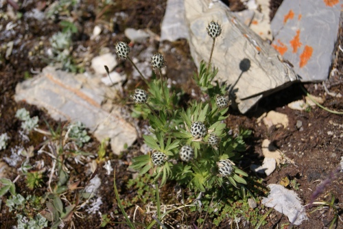 needing identification - found High Alpine - Mt. Assiniboine photo - Karen Anderson