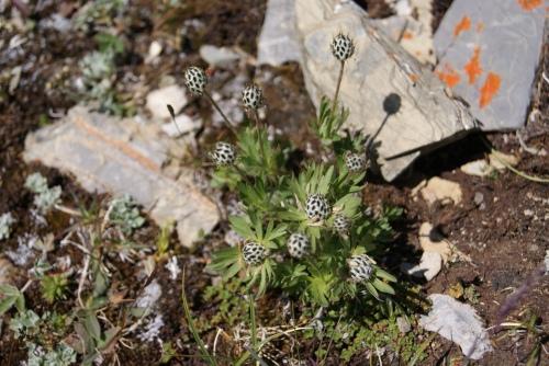 needing identification - found High Alpine - Mt. Assiniboine photo - Karen Anderson