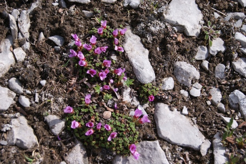 Purple Saxifrage - Windy Ridge near Mt. Assiniboine - July 2013 photo - Karen Anderson
