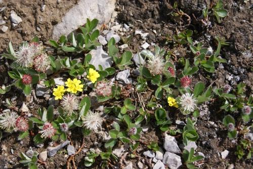 High Alpine flora photo - Karen Anderson