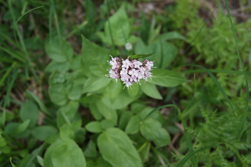Mountain Valerian - wild heliotrope - Mt. Assiniboine - July 2013 photo - Karen Anderson