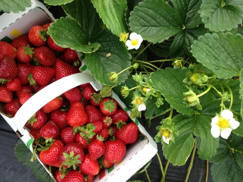 Naturally occurring sugars found in fruits are not included in the sugar excess contributing to heart disease photo of local strawberries from The Jungle Farm - Karen Anderson