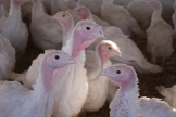 young turkeys photo - Karen Anderson