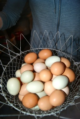 no farmers - no question of which came first - chicken or egg photo - Karen Anderson