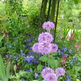Alliums photo - Karen Anderson