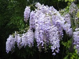 Wisteria close up photo - Karen Anderson