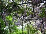 Wisteria arbor photo - Karen Anderson