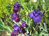 iris in bloom photo - Karen Anderson
