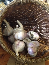 Fresh organic garlic - photo - Karen Anderson