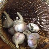 Fresh organic garlic - photo - Karen Anderson