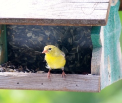 American Goldfinch (female) photo - Karen Anderson