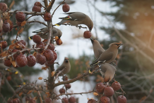 why all always have a crabapple tree - photo - Karen Anderson