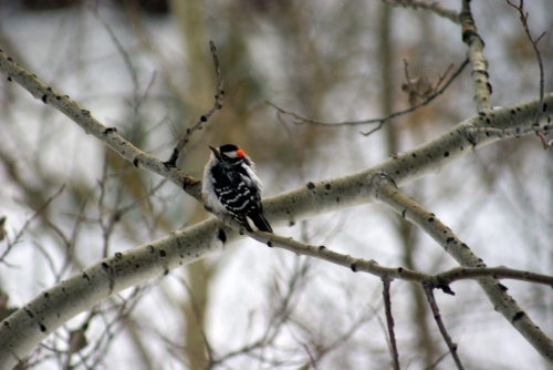 downy woodpecker - photo - Karen Anderson