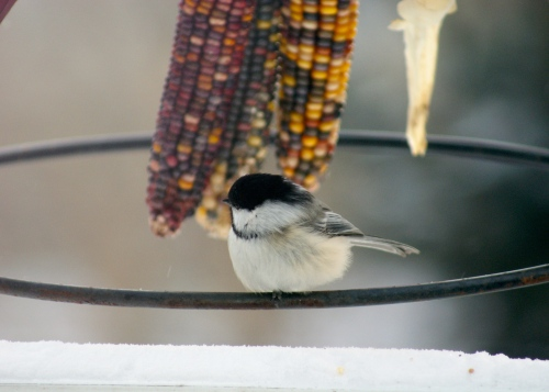 my favourite - the little chickadee - photo - Karen Anderson