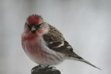 common redpoll - photo - Karen Anderson