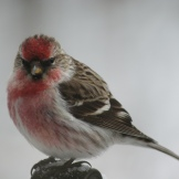 common redpoll - photo - Karen Anderson