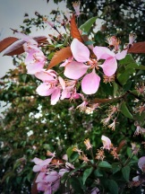 blossoms - spring in the South Okanagan comes a full month earlier than in Alberta - photo - Karen Anderson