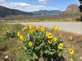 desert in bloom - South Okanagan - photo - Karen Anderson