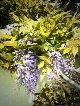 Wistful wisteria - Penticton in spring - photo - Karen Anderson