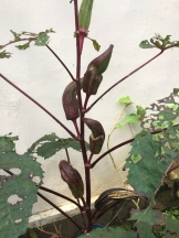 eggplant species - photo - Karen Anderson