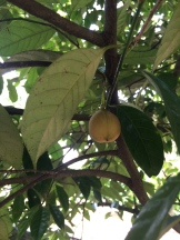 nutmeg - which yields both the nutmeg seed and its casing mace - photo - Karen Anderson