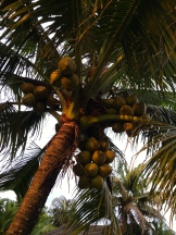 coconuts at various ages and stages growing together - photo - Karen Anderson