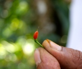 tiny red chile - photo - Karen Anderson