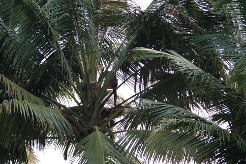 Man in coconut tree - photo - Karen Anderson