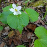 delicate white violets - both the flower and leaves are edible - photo - Karen Anderson