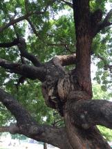 Neem tree - photo - Karen Anderson