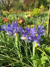 only a few iris - photo - Karen Anderson