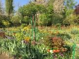 a sea of tulips - photo - Karen Anderson