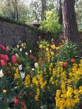 mixed tulips - photo - Karen Anderson