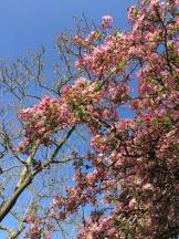 apple blossoms - photo - Karen Anderson