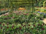 tulip time - photo - Karen Anderson