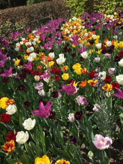 April means tulips at Giverny - photo - Karen Anderson