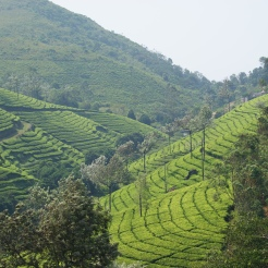 tea gardens - photo - Karen Anderson