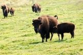 Bison cow and calf - photo - Karen Anderson