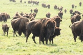 Great Plains Bison - photo - Karen Anderson