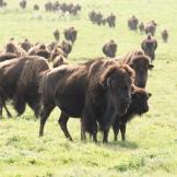 Great Plains Bison - photo - Karen Anderson