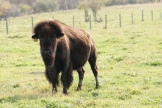 Alberta Bison - photo credit - Karen Anderson