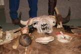Implements made from the bison by our aboriginal people - photo - Karen Anderson