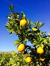 Oranges and Blue Skies in California - photo - Karen Anderson