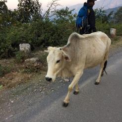 Sacred Cow India - photo credit - Karen Anderson