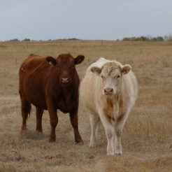 mixed breed cattle